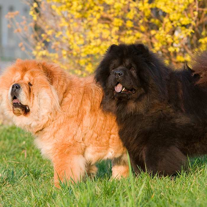 2-chow-chow-dogs-brown-black