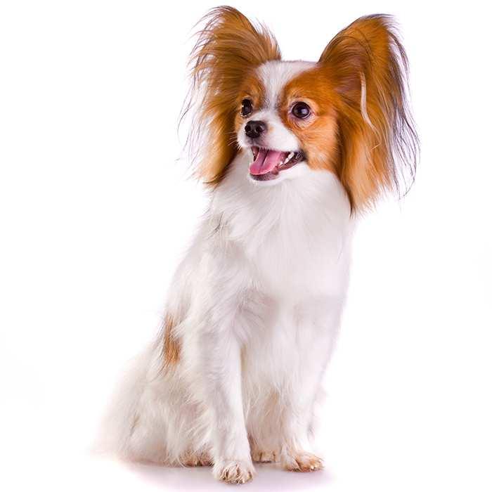 Papillon Dog Breed Information Temperament Health