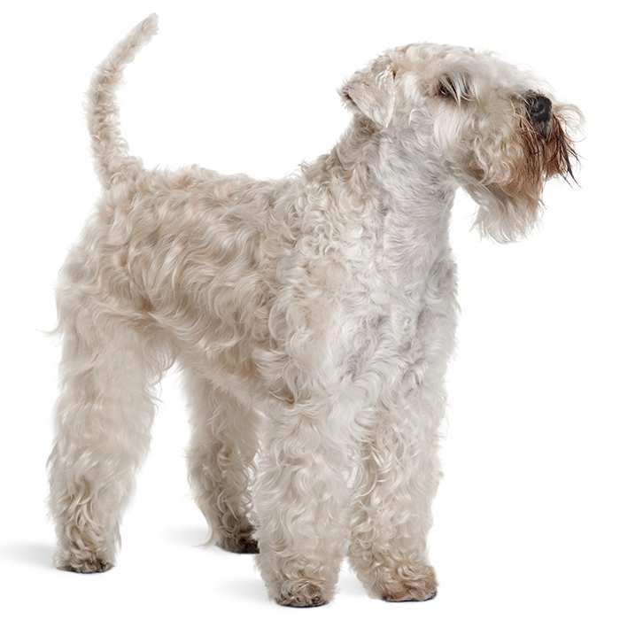 Soft Coated Wheaten Terrier Dog Breed Information Temperament Health