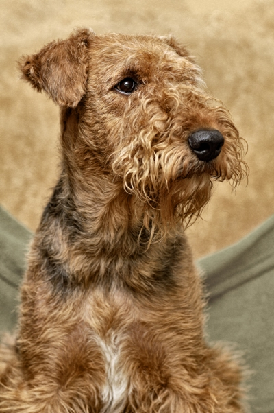 Airedale Terrier Bow Wow Meow Pet Insurance