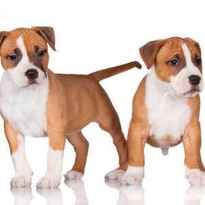 Top 10 Medium-sized Dogs In Australia