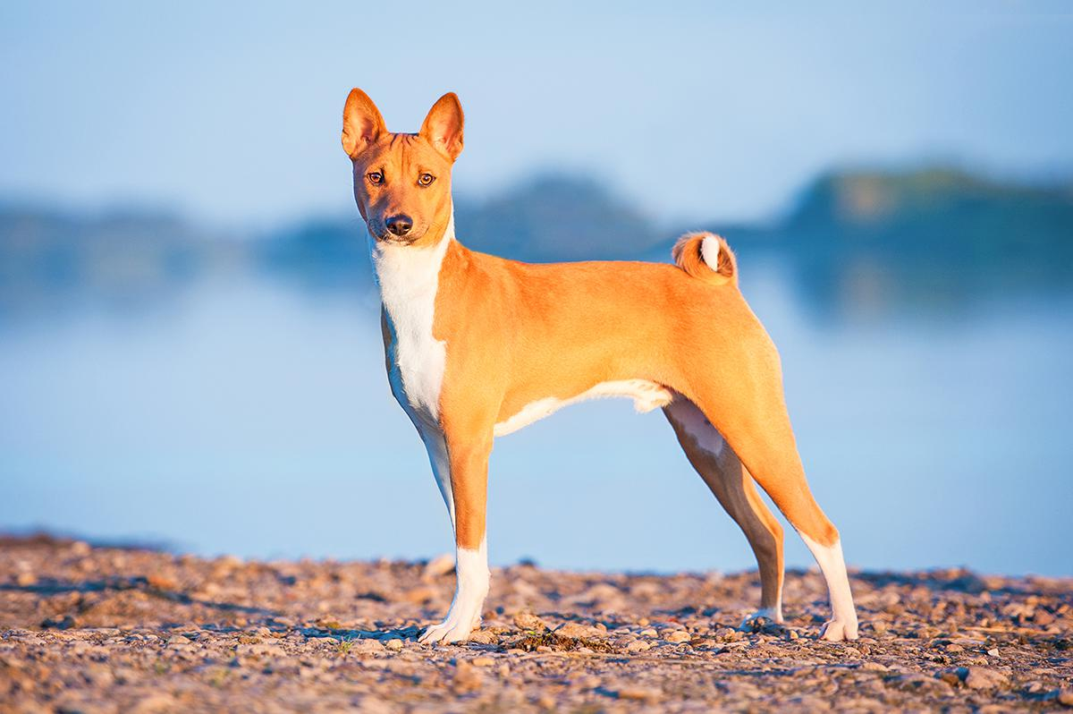 Basenji Bow Wow Meow Pet Insurance