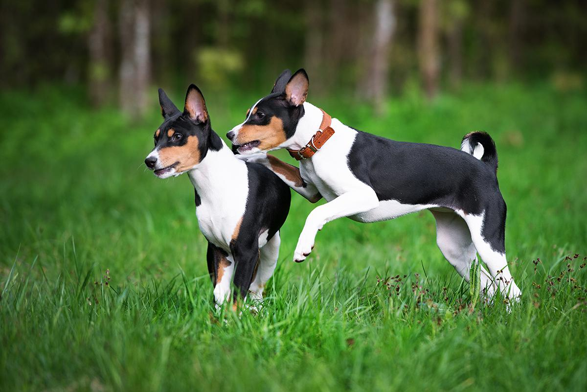 Basenji Basenji Bow Wow Meow Pet Insurance