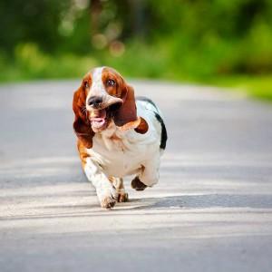 basset-hound-running-funny-face