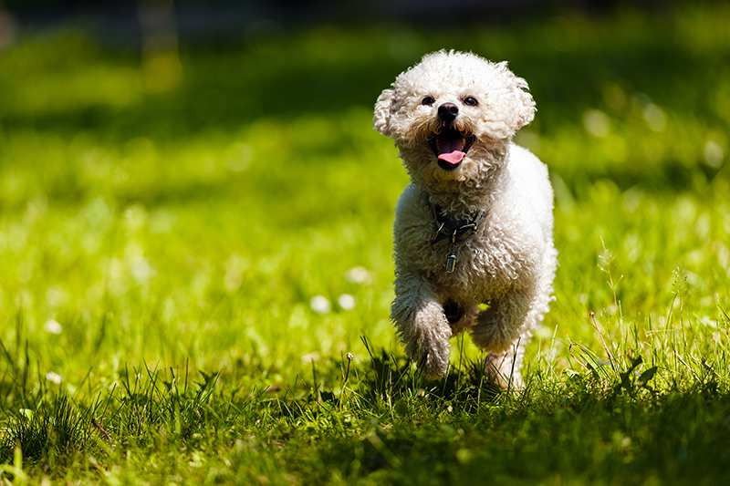 bichon-frise-adult-running-in-grass Bichon Frise Bow Wow Meow Pet Insurance