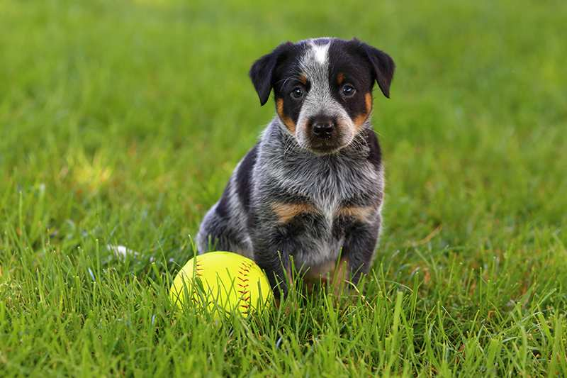 blue-heeler-australian-cattledog-puppy-with-ball-in-grass Australian Cattle Dog Bow Wow Meow Pet Insurance
