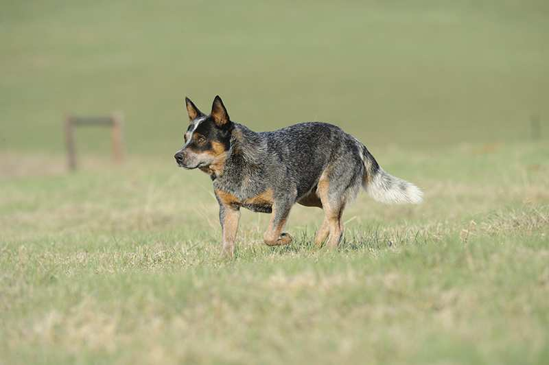 blue-heeler-australian-cattledog-stalking-in-grass Australian Cattle Dog Bow Wow Meow Pet Insurance