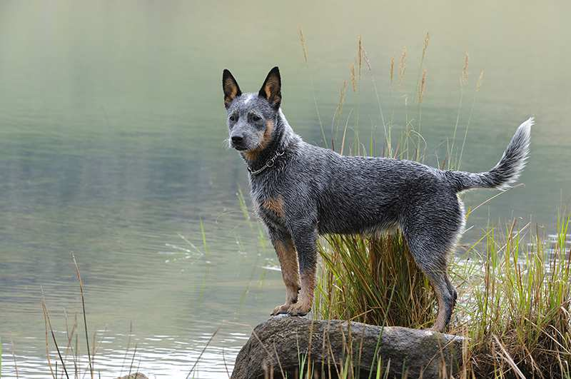 blue-heeler-australian-cattledog-standing-at-lake Australian Cattle Dog Bow Wow Meow Pet Insurance