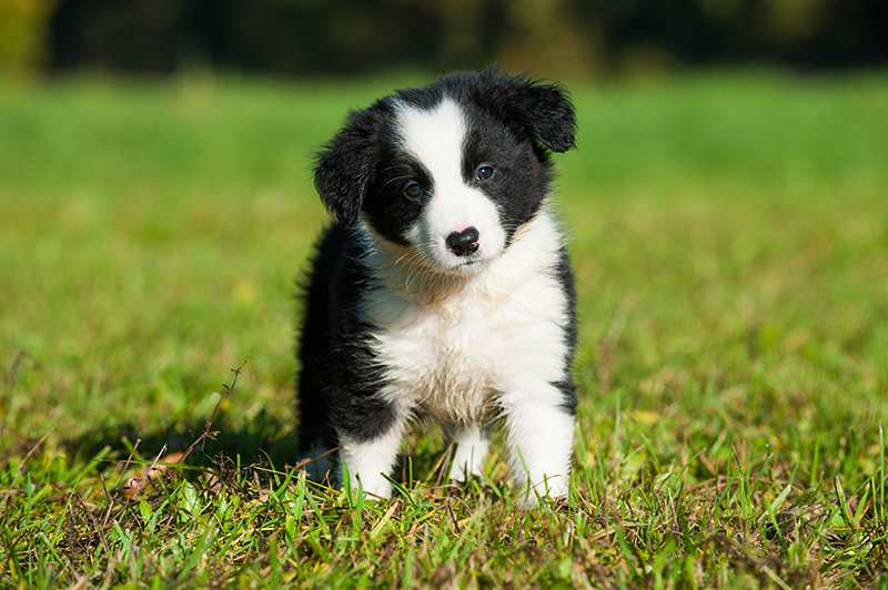 border-collie-puppy-sitting-in-grass Border Collie Bow Wow Meow Pet Insurance