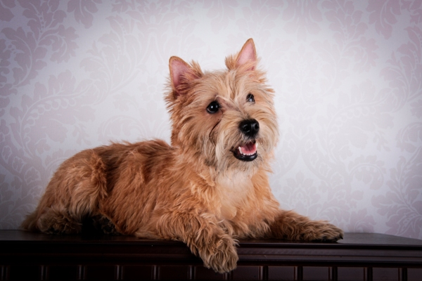 Cairn Terrier Lying Down Cairn Terrier Bow Wow Meow Pet Insurance