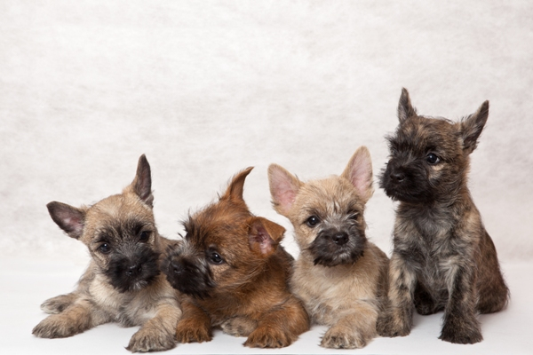 Border Terrier Puppies Border Terrier Bow Wow Meow Pet Insurance