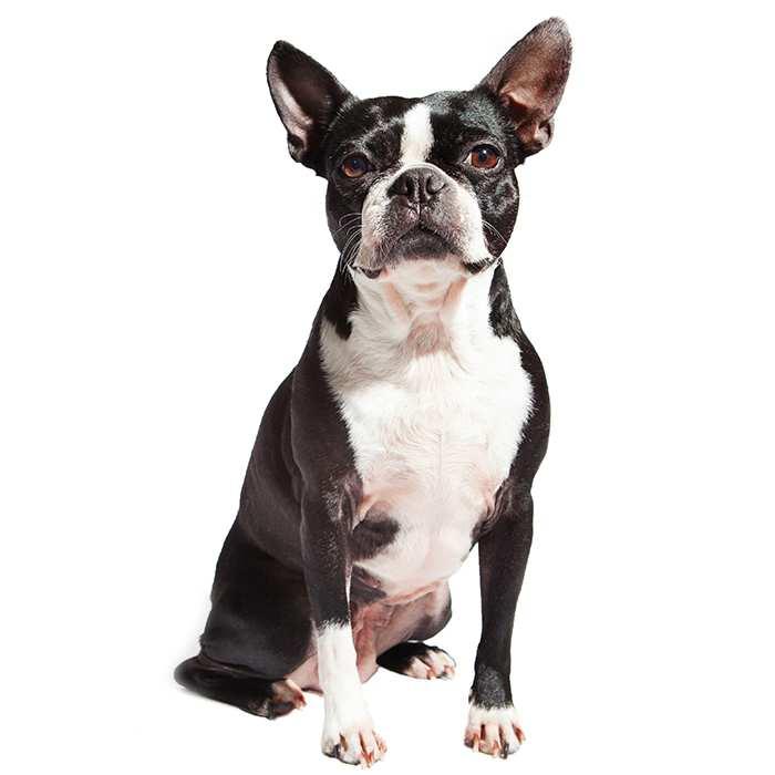 Boston Terrier Dog Breed Information Temperament Health