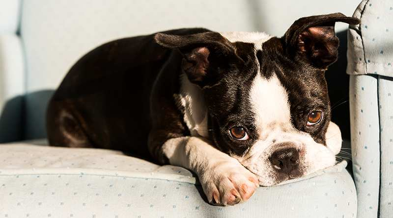 boston-terrier-puppy-lying-on-chair Boston Terrier Bow Wow Meow Pet Insurance