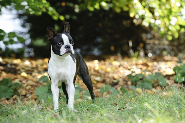 Boston Terrier Standing Boston Terrier Bow Wow Meow Pet Insurance