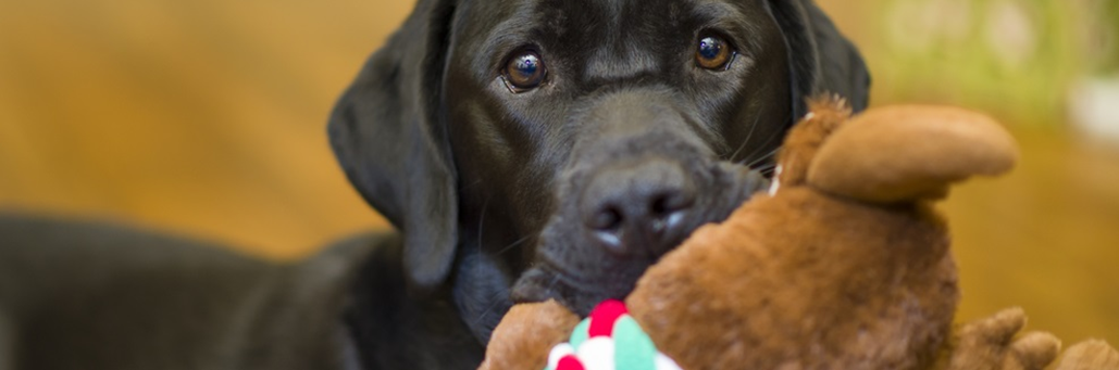 brown-black-labrador-dog-with-toy