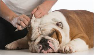 Bulldog Getting Ears Cleaned