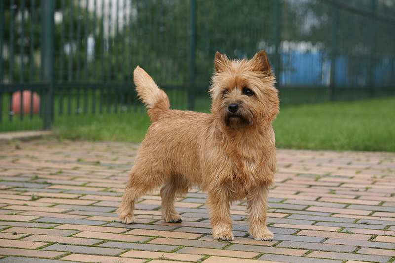 cairn-terrier-standing-in-yard