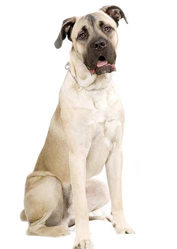 cane-corso-tan-sitting Cane Corso Bow Wow Meow Pet Insurance