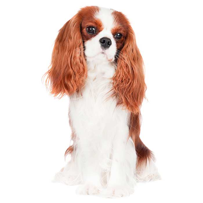 cavalier king charles spaniel dog breed information temperament