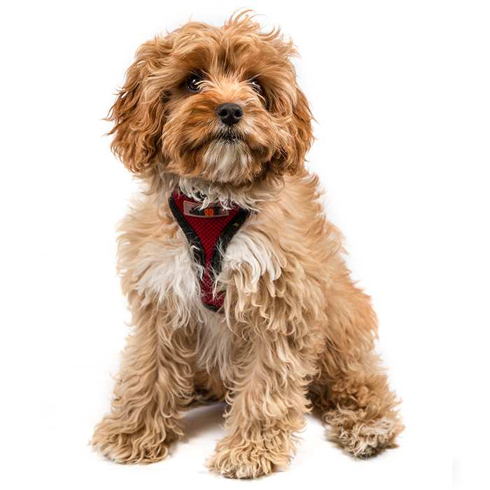 Cavoodle Dog Breed Information | Temperament & Health