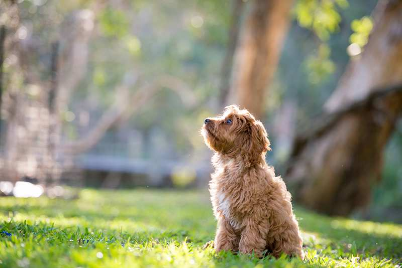cavoodle-puppy-sitting-in-park Cavoodle Bow Wow Meow Pet Insurance