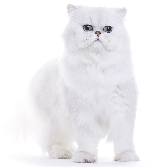 Chinchilla Cat Breed Information Temperament Health