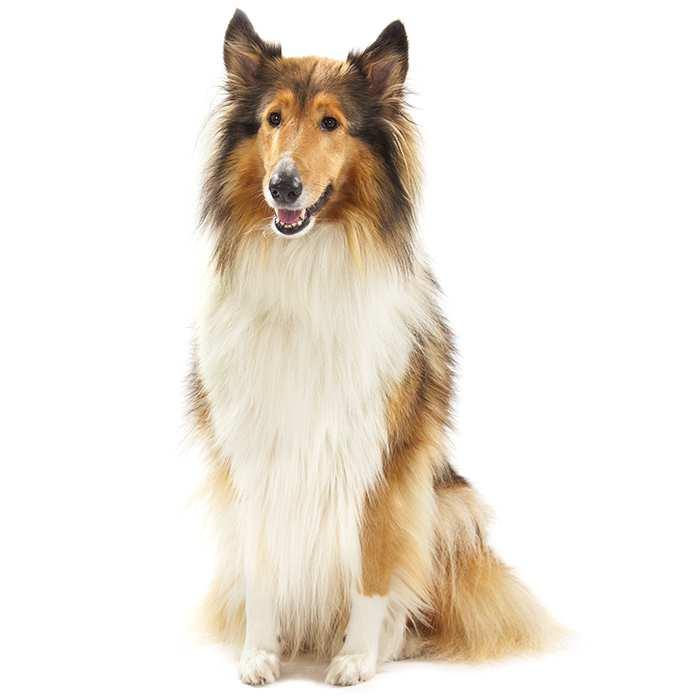 collie rough dog breed information temperament health