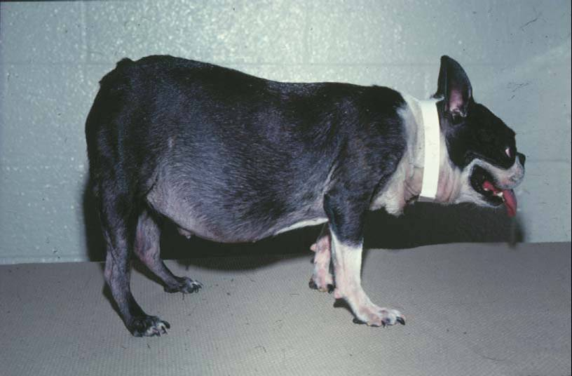 Dog with hyperadrenocorticism (cushing's disease)