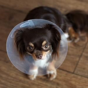 Desexing Dogs & Puppies: Benefits and costs of neutering or spaying your dog