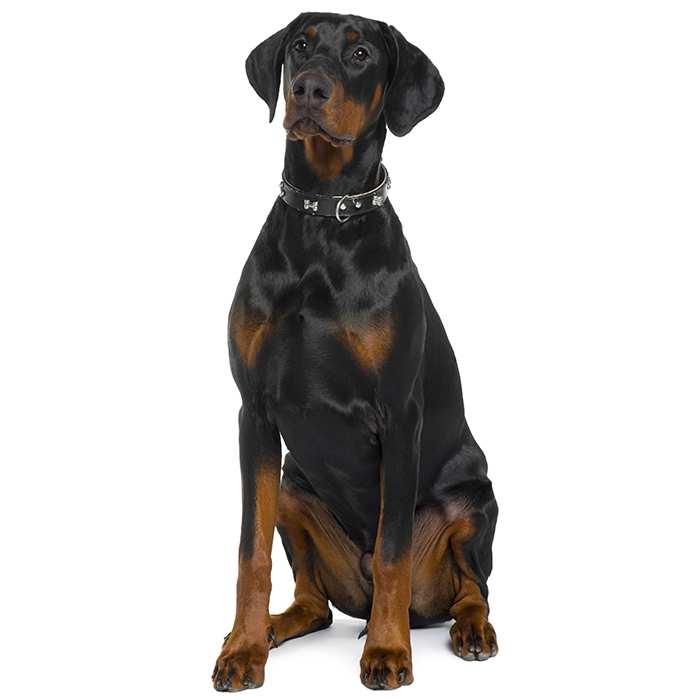 doberman pinscher dog breed information temperament health