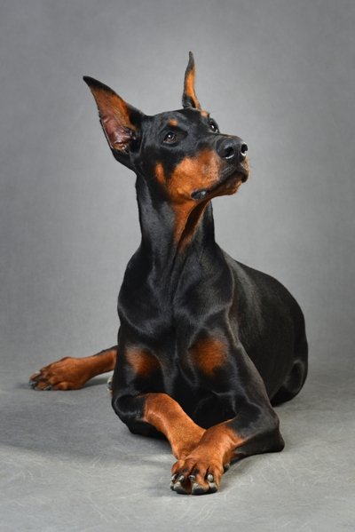 Doberman Doberman Bow Wow Meow Pet Insurance
