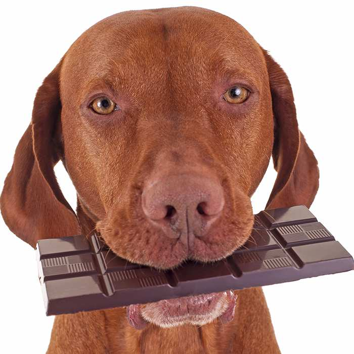 dog-holding-bar-of-chocolate