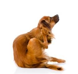 Dog Scratch