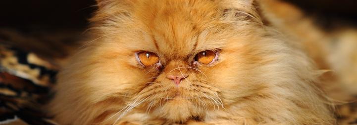 ginger-exotic-cat-close-up