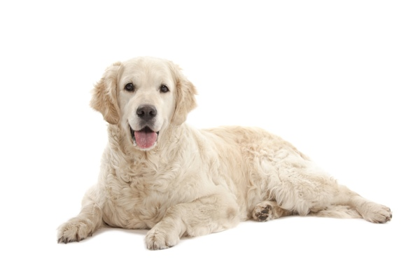 Golden Retriever Dog Breed Information Temperament Health