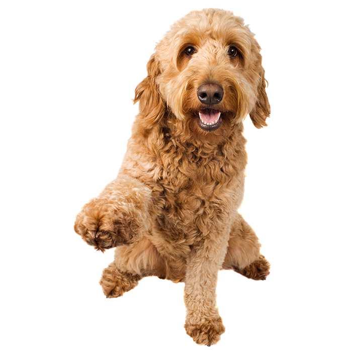 Golden Doodle Groodle Dog Breed Information