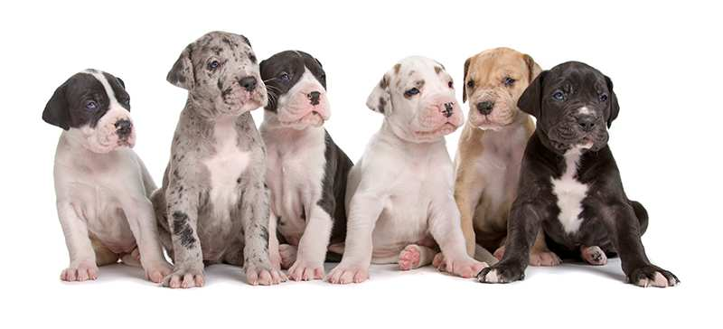 great-dane-puppies-different-colours
