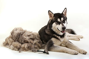 hair-loss-husky-brushed-next-to-hair