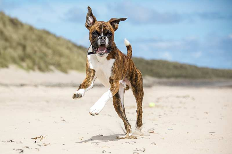 happy-boxer-running-on-beach Boxer Dog Bow WoW Meow Pet Insurance