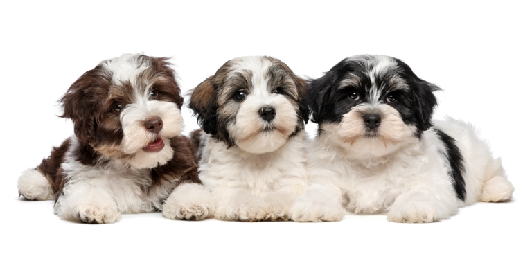 Havanese Puppies Havanese Dog Bow Wow Meow Pet Insurance