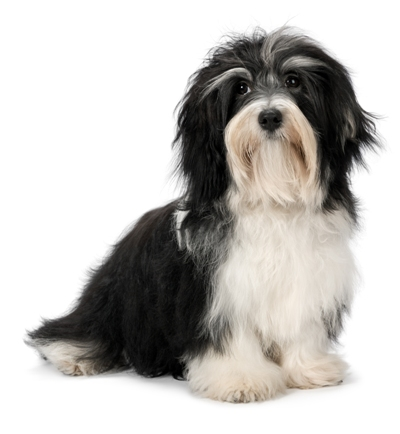Havanese Havanese Dog Bow Wow Meow Pet Insurance