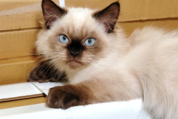 Himalayan Cat Himalayan Cat Bow Wow Meow Pet Insurance