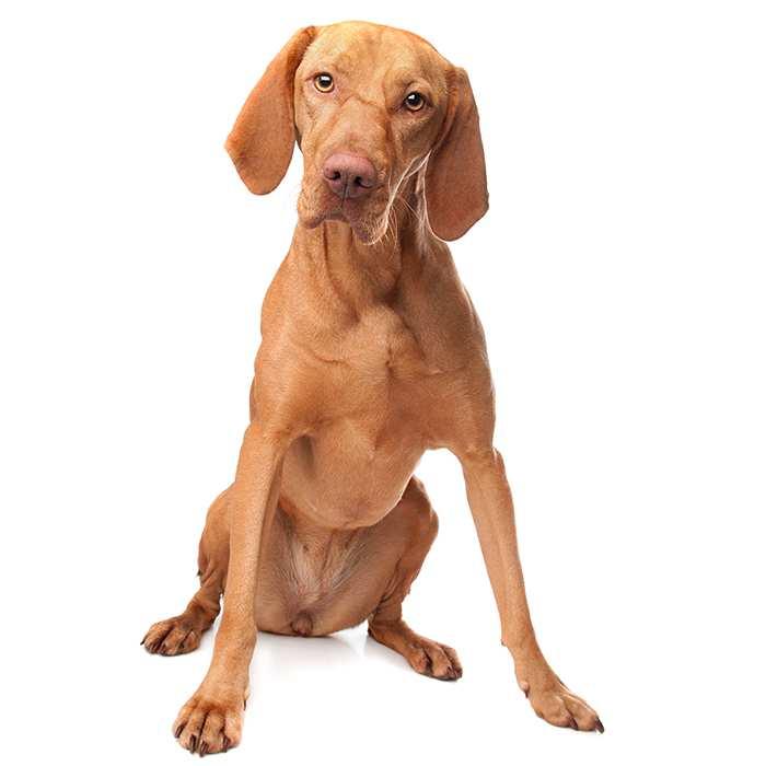 Dogue De Bordeaux Dog Breed Information Temperament Health