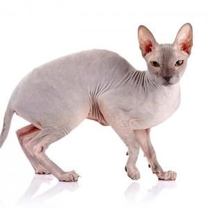 Top 10 Hypoallergenic Cats