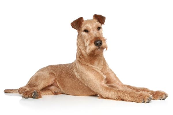 Irish Terrier Lying Down