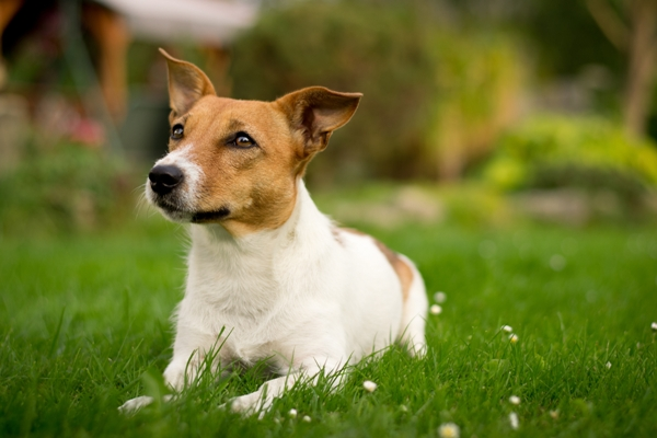 Jack Russell Lying Down Jack Russell Bow Wow Meow Pet Insurance