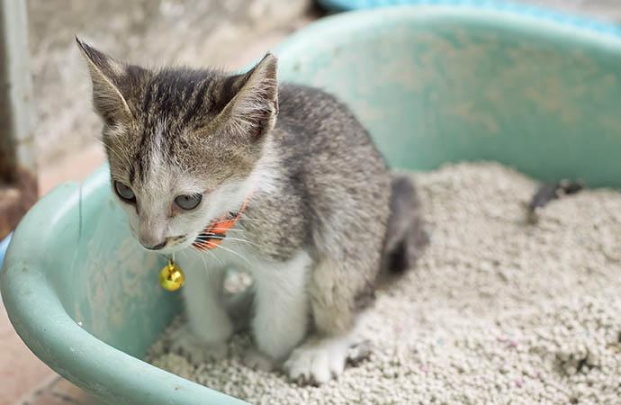 Feline lower urinary tract disease (FLUTD). Cat urinary tract infection, cat UTI