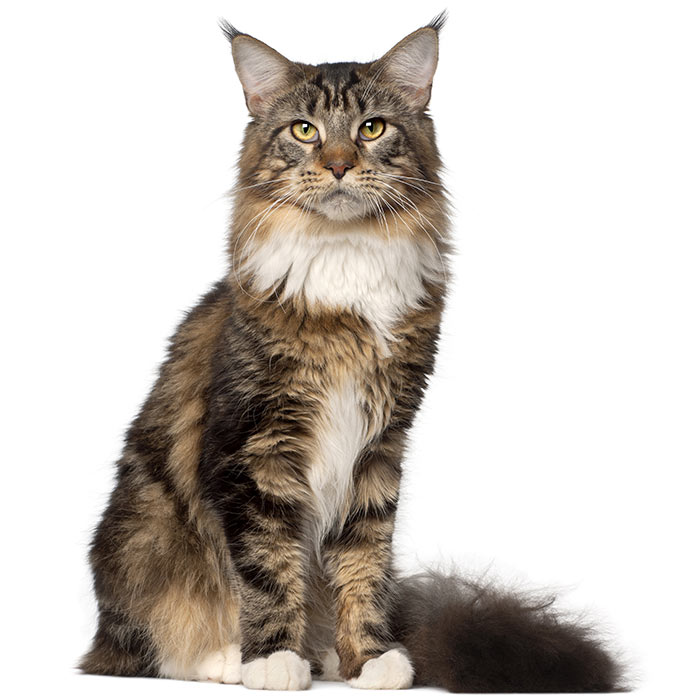 mellowriot: Maine Coon Cat Pictures Largest