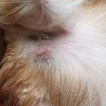 Mast cell tumours in dogs