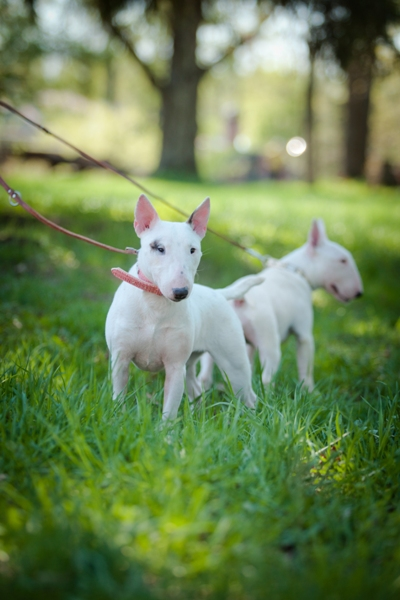 Miniature Bull Terrier Bow Wow Meow Pet Insurance